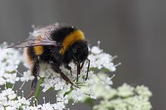Bumble bee on ground elder