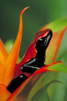 The vivid red or orange skin of the splash-backed poison frog (Dendrobates galactonotus) is a danger signal to potential predators. The frog lives in leaf litter on the rain forest floor of the southern Amazon River Basin in South America.