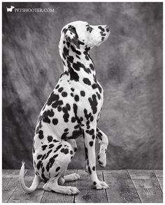 #dalmatien #dalmatiens #dog http://www.petshooter.com/