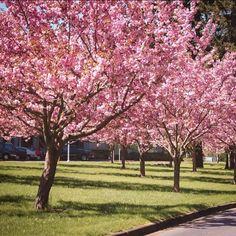 Prunus serrulata Kwanzan