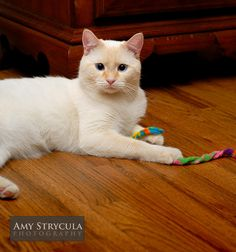 flame point siamese-this is what my cat looks like