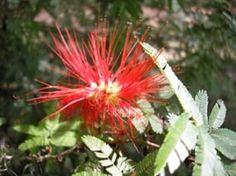 Calliandra tweedii, Arbusto-chama, Diadema, Esponjinha, Esponjinha-sangue, Esponjinha-vermelha, Mandararé, Topete-de-pavão