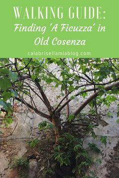"""It took me some time but I've finally found """"a ficuzza"""" in old Cosenza. What makes this tree special is that it sprouted and grew out of a wall many years ago. And now that I know where it is, I'm sharing its location with you in this walking guide!"""