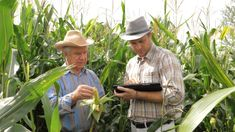 Two Farmers Working In A Cornfield To Inspect