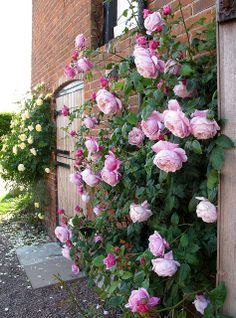 Znalezione obrazy dla zapytania spirit of freedom rose Rosas David Austin, David Austin Rosen, Yellow Climbing Rose, Climbing Roses, Eden Rose, Rose Trellis, Smelling Flowers, Garden Bulbs, Growing Roses
