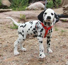 Dalmatian puppy.