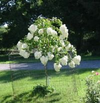 Beautiful young PeeGee, grown in North Salem, NY by Joe. Planted four years ago as a 1 gal. plant, it's now 8' tall.