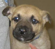 Gorp, Shepherd, 3 months, Male  - Find me on pawschicago.org!