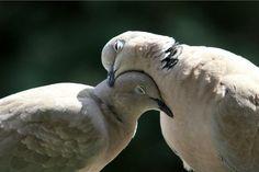 Cute Birds, Pretty Birds, Beautiful Birds, Animals Beautiful, Animals And Pets, Cute Animals, Pigeon Breeds, Mourning Dove, Turtle Dove