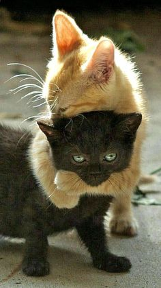 Amour de chats 🧡🧡🧡 chats calin – Chats et chatons- chaton mignon -… Cute Baby Animals, Animals And Pets, Funny Animals, Funniest Animals, Cute Baby Cats, Wild Animals, Cute Kittens, Cats And Kittens, Black Kittens