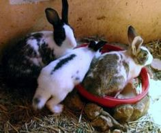 How to Bathe Your Pet Rabbit (http://www.wikihow.com/Bathe-Your-Pet-Rabbit)