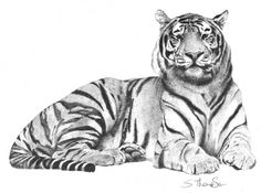 Pencil Drawings of Tigers | Tiger pencil drawing graphite pencil drawing