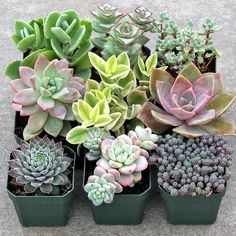 Pastel Succulent Collection - Large (9) Cactus Planta, Cactus Y Suculentas, Cacti And Succulents, Planting Succulents, Growing Succulents, Succulent Potting Mix, Succulent Landscaping, Unusual Plants, Garden Soil