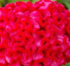 "Hot Pink Coxcomb has a ""brain-like"" shape, how interesting! Neon Flowers, Unique Flowers, Flowers Nature, Beautiful Flowers, Sweet Magic, Flower Names, Fascinator, Magenta, Planting Flowers"