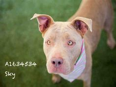 SKY is an adoptable Pit Bull Terrier searching for a forever family near Los Angeles, CA. Use Petfinder to find adoptable pets in your area.