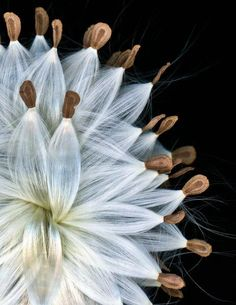 Milkweed Seed Pods by Andy Goodwin All Nature, Amazing Nature, Seed Pods, Jolie Photo, Patterns In Nature, Natural Forms, Planting Flowers, Wild Flowers, Beautiful Flowers
