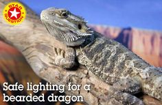 Safe lighting for a bearded dragon