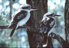 Kookaburras a large Kingfisher also called Laughing Jackass because off their call.