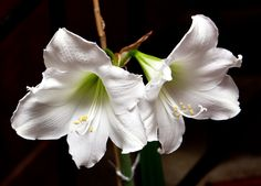 Winter flowers, hippeastrum. Winter Flowers, Plants, Flora, Plant, Planting