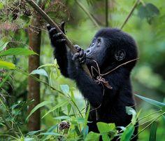 All About Mountain Gorillas | Mountain Gorillas, or Mountain Gorrillas!?