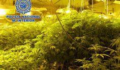 1.680 Cannabis-Pflanzen auf Mallorca beschlagnahm