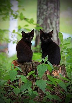 twins Black cats are so beautiful. Not evil. How can people say that about animals that are pure black. Cats do not understand color. They understand who loves them and who hates them. I enjoy doing this. Love is unconditional and my love for cats are unconditional. Incensewoman