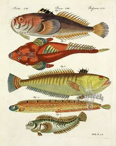 Bertuch Fish Prints, Botanical Prints 1790