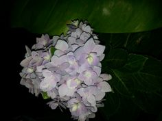 My Hydrangea ♡