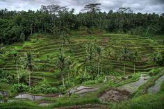 rice fields of Ubud Bali Ubud, Bali Architecture, Rice Terraces, Bali Travel, Travel Info, Future Travel, Landscape Photographers, Travel Inspiration, Thinking Of You