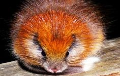 Restricted to the Sierra Nevada de Santa Marta, Colombia, the Red Crested Tree Rat (Santamartamys rufodorsalis) is listed as Critically Endangered, due to habitat loss. by Lizzie Noble Extinct Animals, Rare Animals, Cutest Animals, Wild Animals, Strange Animals, Unusual Animals, Hamsters, Rodents, Beautiful Creatures