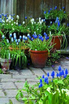 Grape hyacinth in pots
