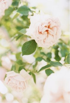 Wedding Ideas: pink-garden-rose