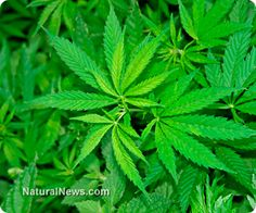 2 wks to live- Dying 80 yr old cured by cannabis after failed chemo & radiation.  Learn more: http://www.naturalnews.com/042978_cannabis_cancer_cure_terminal_patient.html#ixzz2lKu8uEmg