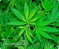American Herbal Pharmacopoeia releases cannabis monograph legitimizing herb as botanical medicine https://www.facebook.com/kmuofficial2013
