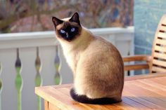 13 Interesting Cat Facts You Need To Know April 6 is National Siamese Cat Day! These are one of the most beautiful cat breeds in my opinion ? Siamese cats originally came from Thailand and were known as Siam. Cute Kittens, Siamese Kittens, Cats And Kittens, Tabby Cats, Pet Cats, Cats Bus, Bengal Cats, Kitty Cats, Cats Meowing