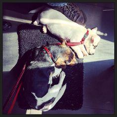 Gebroederlijk... ;-) #blijehond  #puppyEhkä = #puppyspam
