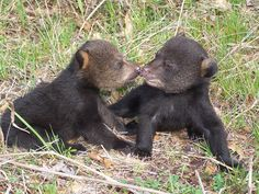 Nowhere to Turn: The Plight of the Florida Black Bear