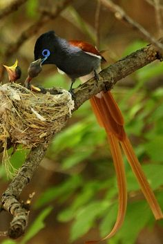 Paradise-flycatcher with 1 day old chicks