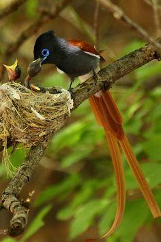 Paradise flycatcher. BelAfrique your personal travel planner - www.BelAfrique.com