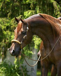 DT Arielle - purebred Arabian horse.  Pretty!