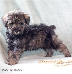Playful Paws of Athens | Teddy Bear Schnoodle Breeder