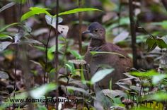 20F-Crypturellus undulatus yapura  (Undulated Tinamou  A bird in rainforest floodplain (varzea). Un ejemplar cantando en el suelo de la selva inundable (varzea))