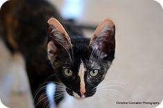 Island Park, NY - Domestic Shorthair. Meet Shelby, a cat for adoption. http://www.adoptapet.com/pet/11579910-island-park-new-york-cat