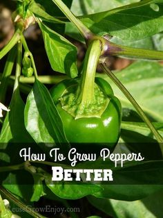 Going to be growing peppers this year in your garden? You can Grow Peppers Better with these great tips! http://reusegrowenjoy.co...