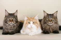 Maine Coon is one of large cat breeds that can be kept at home. It has large body, dark color, unique visage, and long tails. The physical appearance