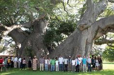 If you're in Limpopo, South Africa you must enjoy a Beer inside the Baobab Tree Bar! Tree Bar, Baobab Tree, Giant Tree, Old Pub, Outdoor Restaurant, Unique Trees, Trees Beautiful, Old Trees, All Nature