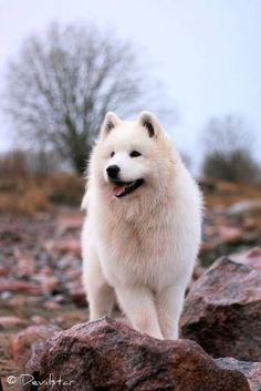 Samoyed by KaleighS