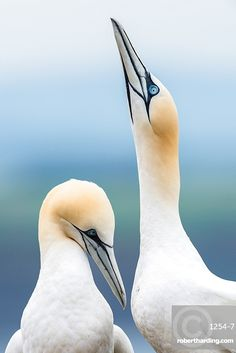 This is one of 2 images by robertharding contributor, Matthew Cattell, shortlisted for the CEPIC Photography Awards in Berlin! Gannet pair (Morus bassanus), one skypointing (raising their beaks) whilst courting, Scotland, United Kingdom, Europe