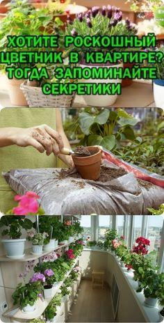 Хотите роскошный цветник в квартире? Тогда запоминайте секретики Balcony Garden, Succulents Garden, Indoor Plants, House Plants, Orchids, Gardening, Garden, African Violet, African