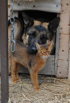 German Shepherd and kitty Unusual Animal Friends, Unusual Animals, Crazy Cat Lady, Crazy Cats, Funny Animals, Cute Animals, Matou, Raining Cats And Dogs, German Shepherd Puppies